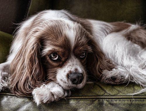 Consecuencias de la ansiedad por separación en perros